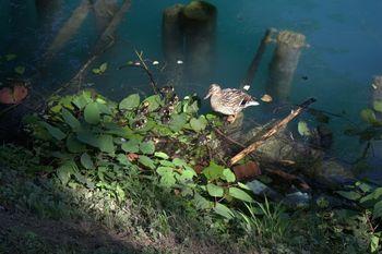 Invazivne rastline na Bledu