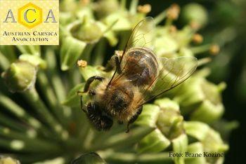 Na Gorenjskem ponovno priznana vzreja rodovniških čebeljih matic, ACA, na Plemenilni postaji Krma