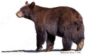 Medved uničuje čebelnjake