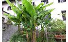 Bananovec na vrtu Kostanjevice