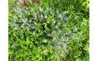Jetičniki modrijo zelene travnike