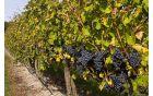 1_vinograd.jpg