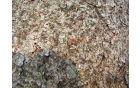 Ličinka mravljičastega pisanca (KORISTNA)