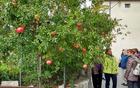Tako pri nas rastejo jabolka, tu so pa granatna