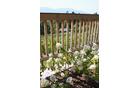 Detajl ob ograji: cvetoče hortenzije