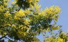 V Strunjanu smo se razveselili cvetoče mimozovke albicije