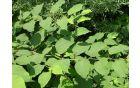 Listi japonskega dresnika so veliki 5 do 15 cm, steblo ni povsem ravno, ampak ima blago obliko cik-caka (foto: Nejc Jogan).