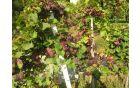 Pri rdečih sortah je značilno bolezensko znamenje rdečenje in zvijanje listne površine navzdol.