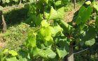 Bolezenska znamenja trsne rumenice na beli sorti