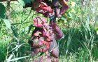 Bolezenska znamenja trsne rumenice na rdeči sorti vinske trte