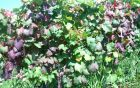 Bolezenska znamenja trsnih rumenic na rdeči sorti vinske trte