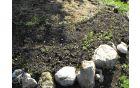 Avtohtona semena ajde so vzklila
