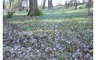 Žafrani na bregu so nas prepričevali, da  v deželo le prihaja pomlad