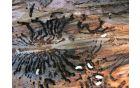 Odrasel hrošč in zalega (bube) smrekovega lubadarja