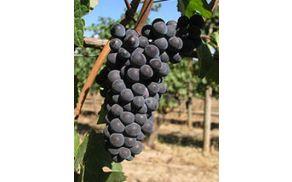 170px-chehalem_pinot_noir_grapes.jpg