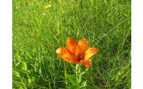 Divja lilija v cvetenju.