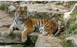 Sibirski tiger. Slika je simbolična.