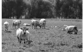 Antraks je usmrtil že enajst govedi iz črede na Blatih.