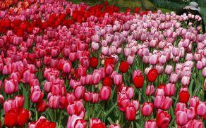 2590_1521109505_tulipani.jpg