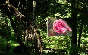 Vrtnice v Parku Pečno. Foto: Primož Kožuh