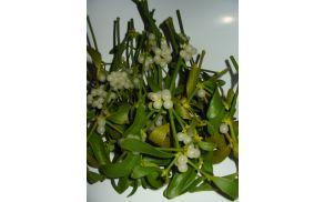Bela omela s plodovi, ki so strupeni ob nestrokovni uporabi.