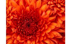 3_chrysanthemum.jpg