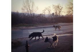 Psi se ne smejo sprehajati brez nadzora lastnika.