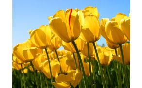 3_tulips.jpg