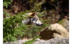 3_wolf_20100727_1103280965.jpg