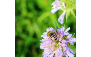 Obisk medonosne rastline (foto: Lea Sreš)
