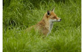 Lisica, slika je simbolična.