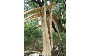 razklan spodnji del akacije