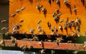 7367_1496829309_bees-2254088_960_720.jpg