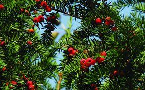 Tisa, drevo posebne vrste