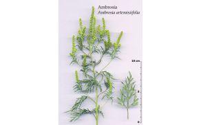 ambrosiaartemisiifolia.jpg