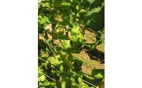 Bolezenska znamenja na belih sortah so zvijanje listov navzdol, rumenenje in pojav bledic. Kmalu pride tudi do razkrajanja listnih žil.
