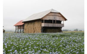 Cvetoči lan v Deželi kozolcev. Foto: Alenka Lamovšek