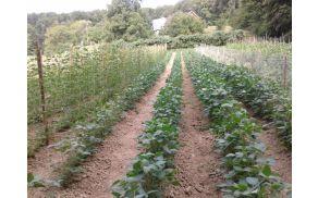 Kolekcijski zelenjavni vrt na EKO kmetiji Živko