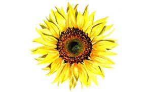 Simbol Društva bolnikov z osteoporozo Kranj je sončnica