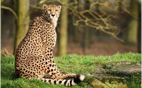 Gepard. Slika je simbolična.