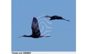 glossy-ibis-glossyibis-black-pixmac-image-54906603.jpg