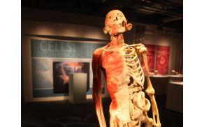 Razstava Bodies revealed prikazuje notranjost človeškega telesa. Foto: bodies.si