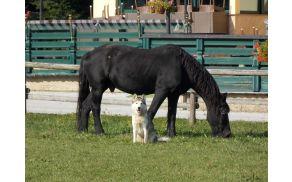 Konj pasme frizijec-edini predstavnik te pasme v Sloveniji.