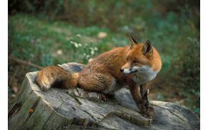 S cepljenjem bodo zaščitili populacijo lisic in preprečili širjenje bolezni. Foto: Tomi Trilar, Prirodoslovni muzej Slovenije,