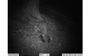 Medvedji mladič, slikan na Čreti