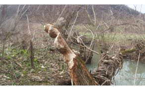 """V Kozjanskem parku, v potoku Bistrica, bobri ustvarjajo prave """"rezbarske skulpture"""" (foto Sonja Repnik)"""