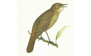 ptič slavec
