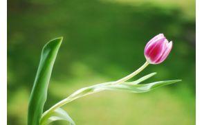 tulipan_roza.jpg