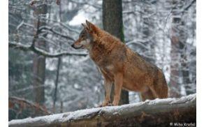 wolf_20100727_1803295641.jpg