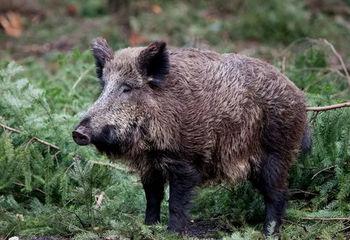 Obvestilo Lovske družine Ivančna Gorica o nujnih ukrepih zaradi afriške prašičje kuge pri divjih prašičih